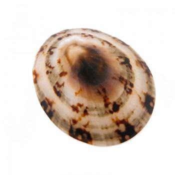 Conchiglia naturale (connie) mm 50x40 circa