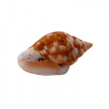 Conchiglia naturale (tiger shell) cm 1.5 circa