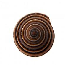 Conchiglia naturale (sundial shell) cm 2.5/3 circa