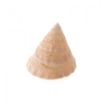 Conchiglia naturale (troca shell) cm 2 circa