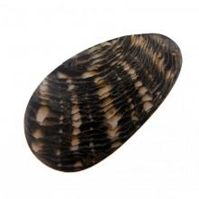 Particolare goccia black lip grezza cm 6.5x3