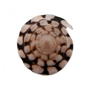 Conchiglia diametro cm 4