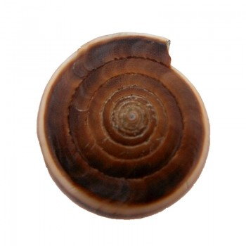 Conchiglia diametro cm 2.5 circa