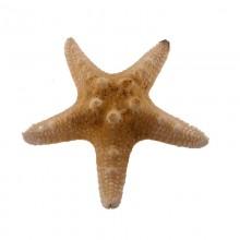 Stella marina da cm 5 a cm 8