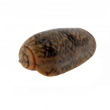 Conchiglia naturale (moon shell white ) cm 4.5 circa